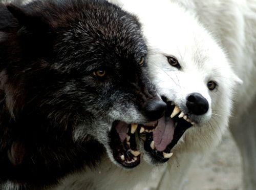 Best 25+ Black Wolves Ideas On Pinterest