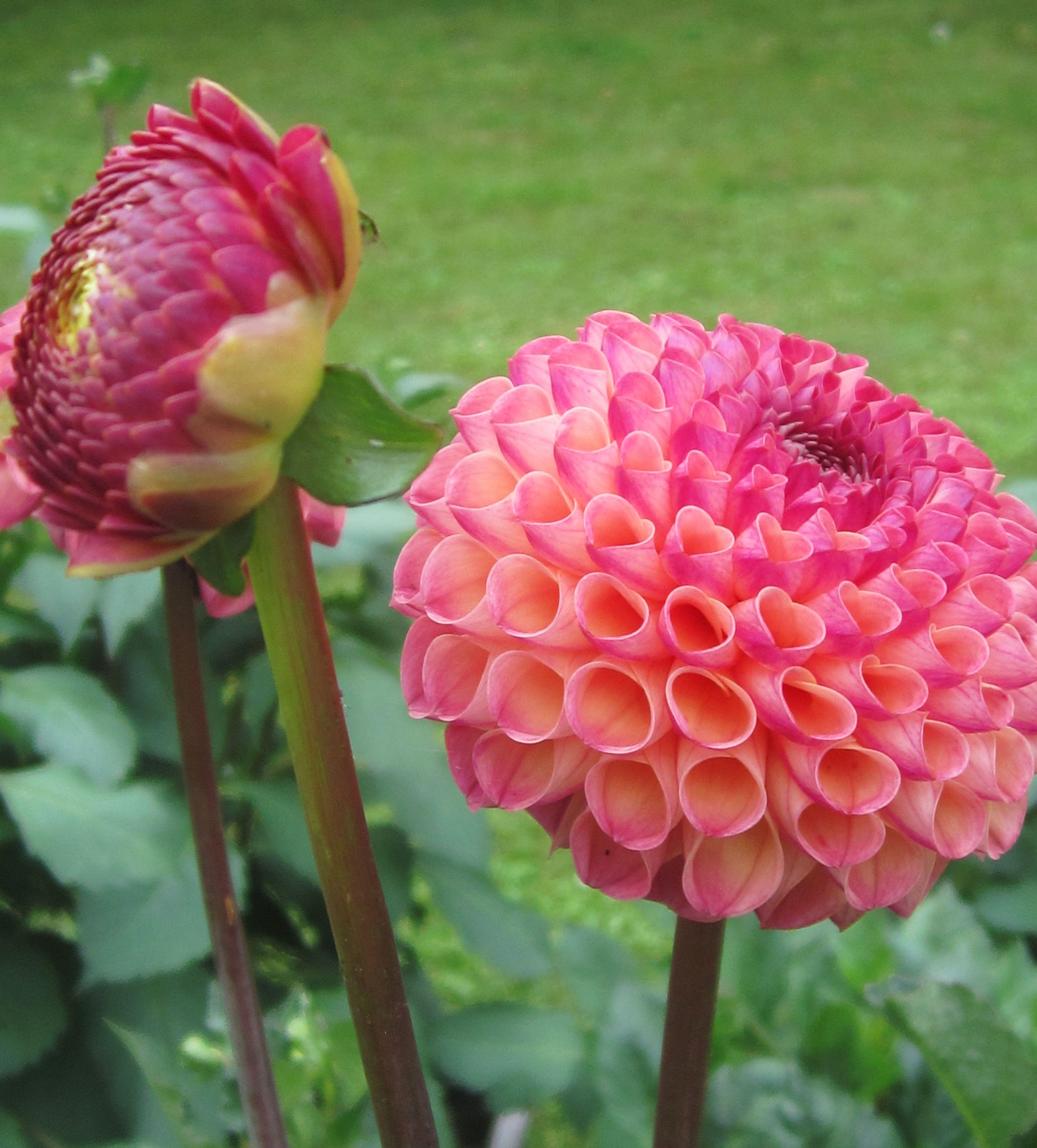Dahlia burlesca sort of raspberry color gardening pinterest dahlia burlesca sort of raspberry color izmirmasajfo