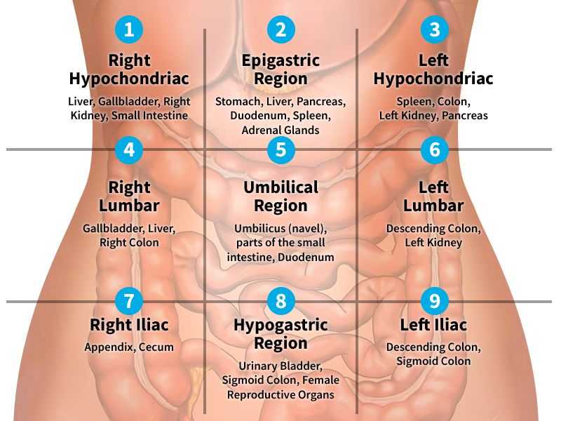 organs in left quadrant - Google Search   Medical ...