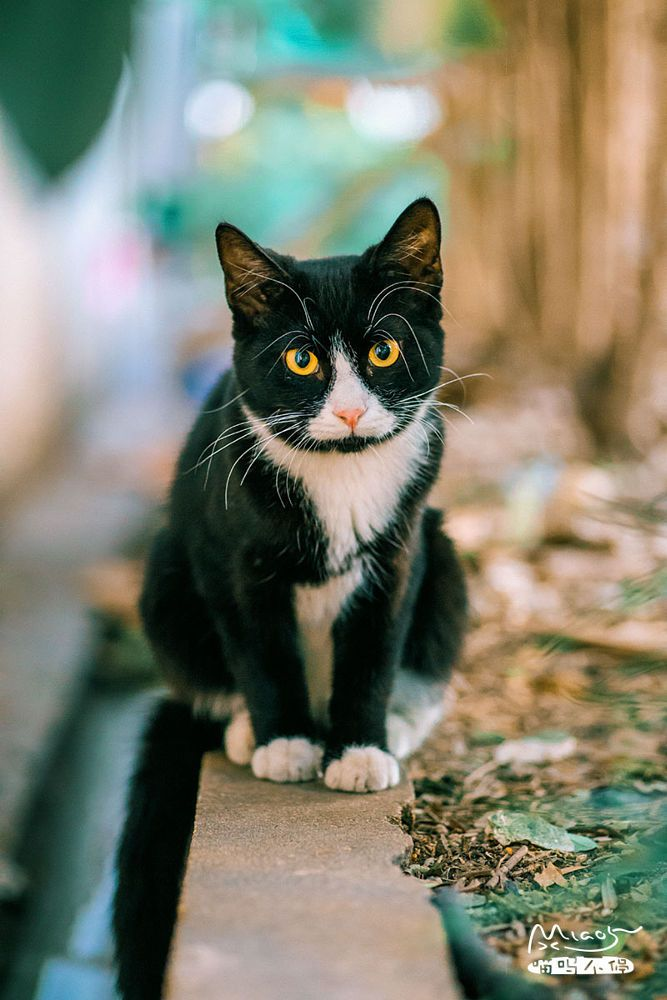 Charming Cat Yellow Eye Cats Bicolor Cat Yellow Cat