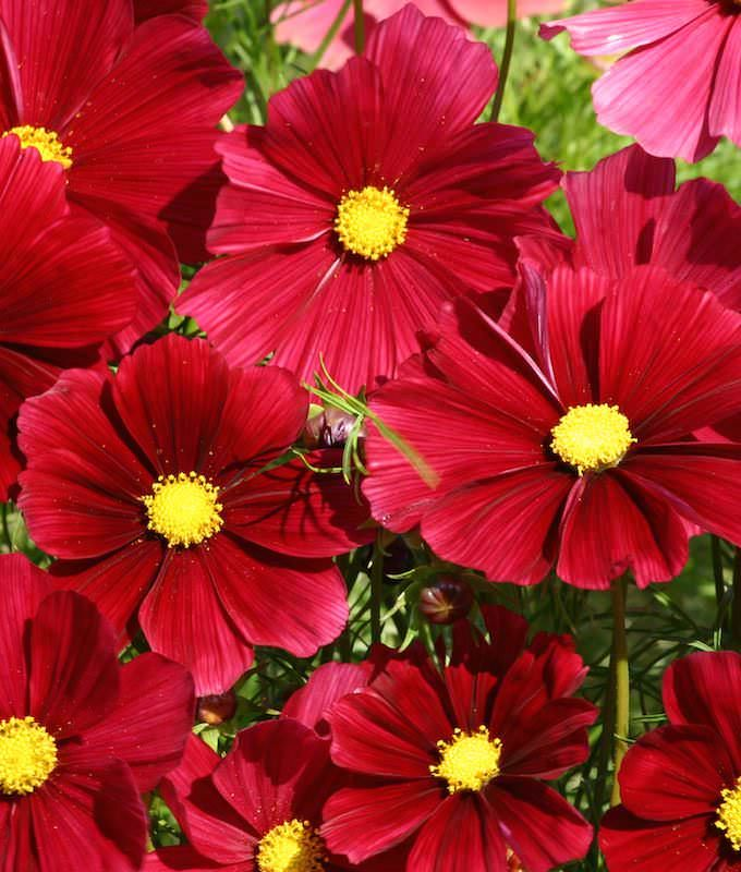 Cosmos Rubenza Annual Flower Seeds Cosmos Flowers Flower Seeds Annual Flowers