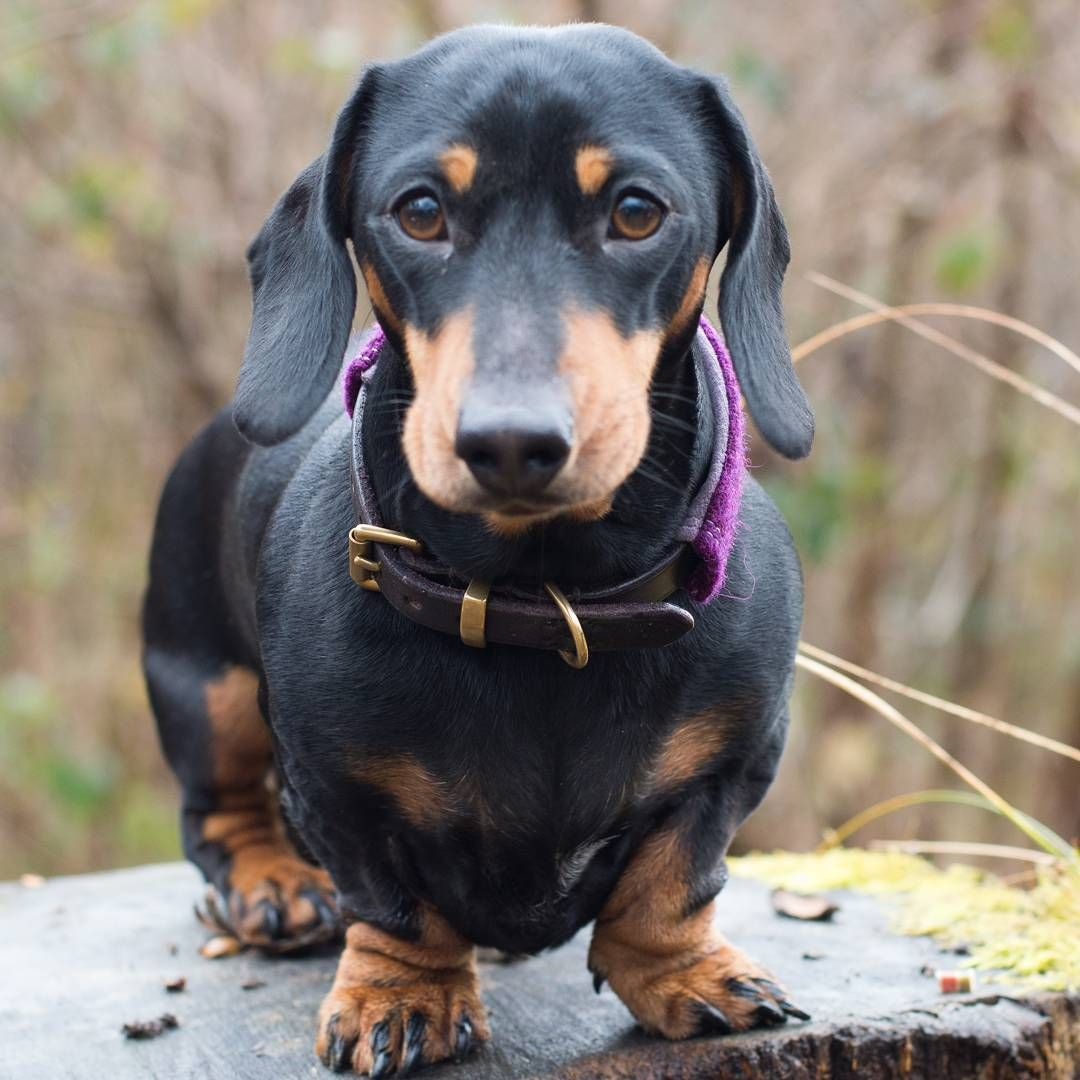 7 Likes 3 Comments Brian Luhoway Brianluhoway On Instagram Furnace Back Up And Running Trent Did With Images Dachshund Breed Funny Dachshund Dachshund Puppy Funny