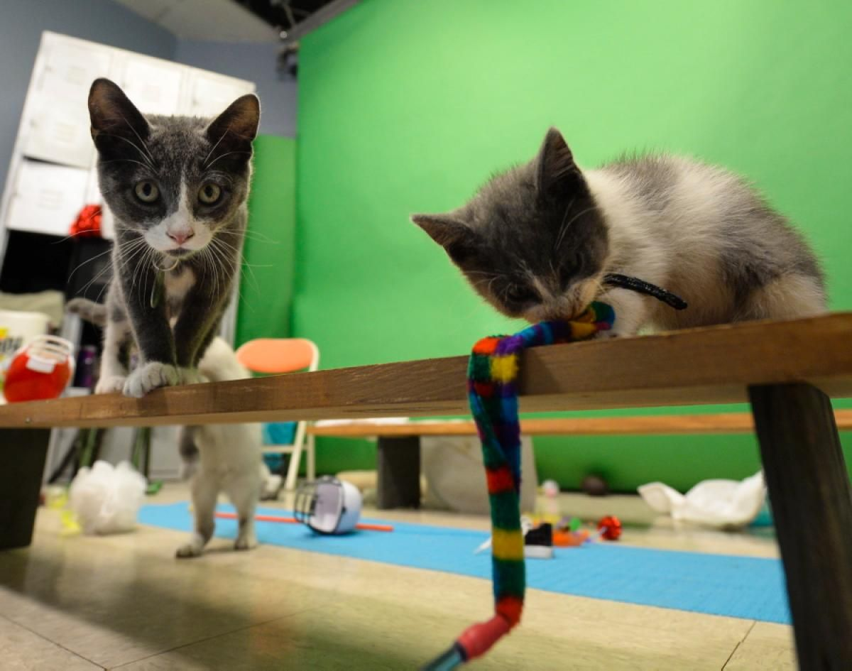 Fluffy Fumbles And Tiny Tackles Behind The Scenes At The Kitten Bowl Kitten Bowls Kittens Cats And Kittens