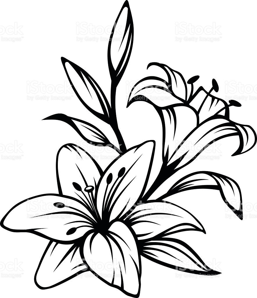 Vector black contour of lily flowers isolated on a white