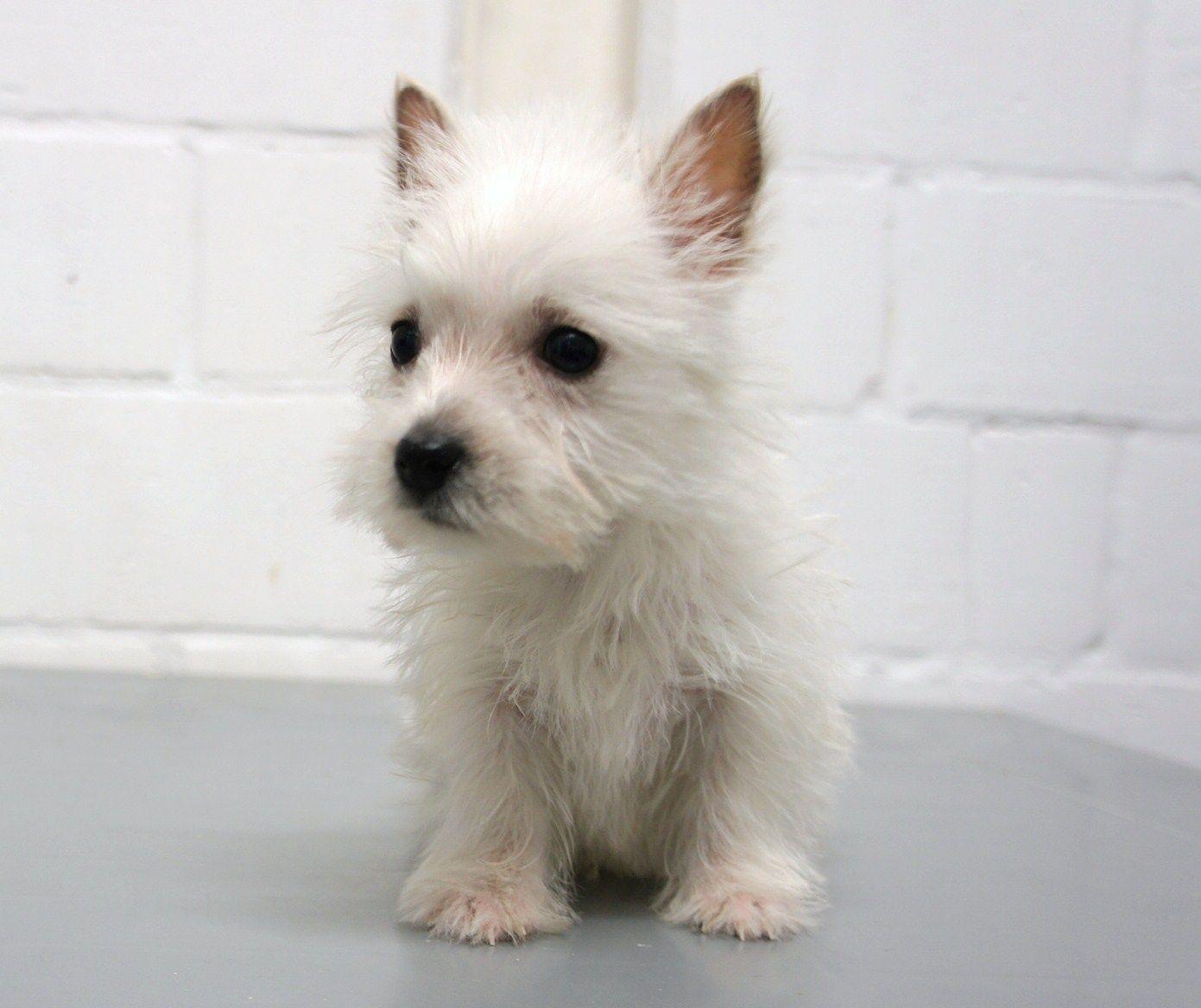 So Sweet And Tiny Westie Puppies Westie Terrier