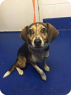 New Kent Va Beagle Mix Meet Oliver A Dog For Adoption Http Www Adoptapet Com Pet 12923185 New Kent Virginia Beagle M Beagle Mix Dog Adoption Beagle Dog
