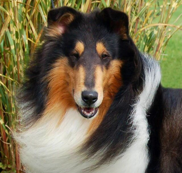 Tri Collie Rough Collie Collie Breeds Collie Puppies For Sale