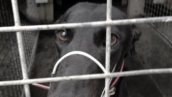 Petition Monash University Stop The Use Of Greyhound Dogs In University Medical Research Change Org Grey Hound Dog Animal Experiments Medical University