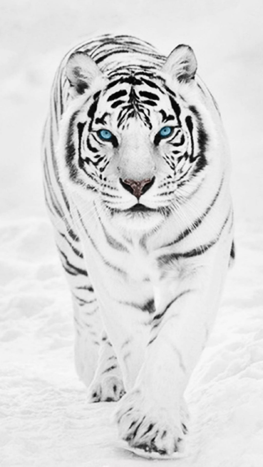 White Wild Tiger Animal Retina IPhone 7 Wallpaper