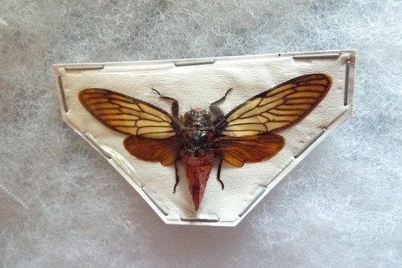 OVERSTOCK: spread Huechys incarnata Red Devil Cicadas by InsectArt