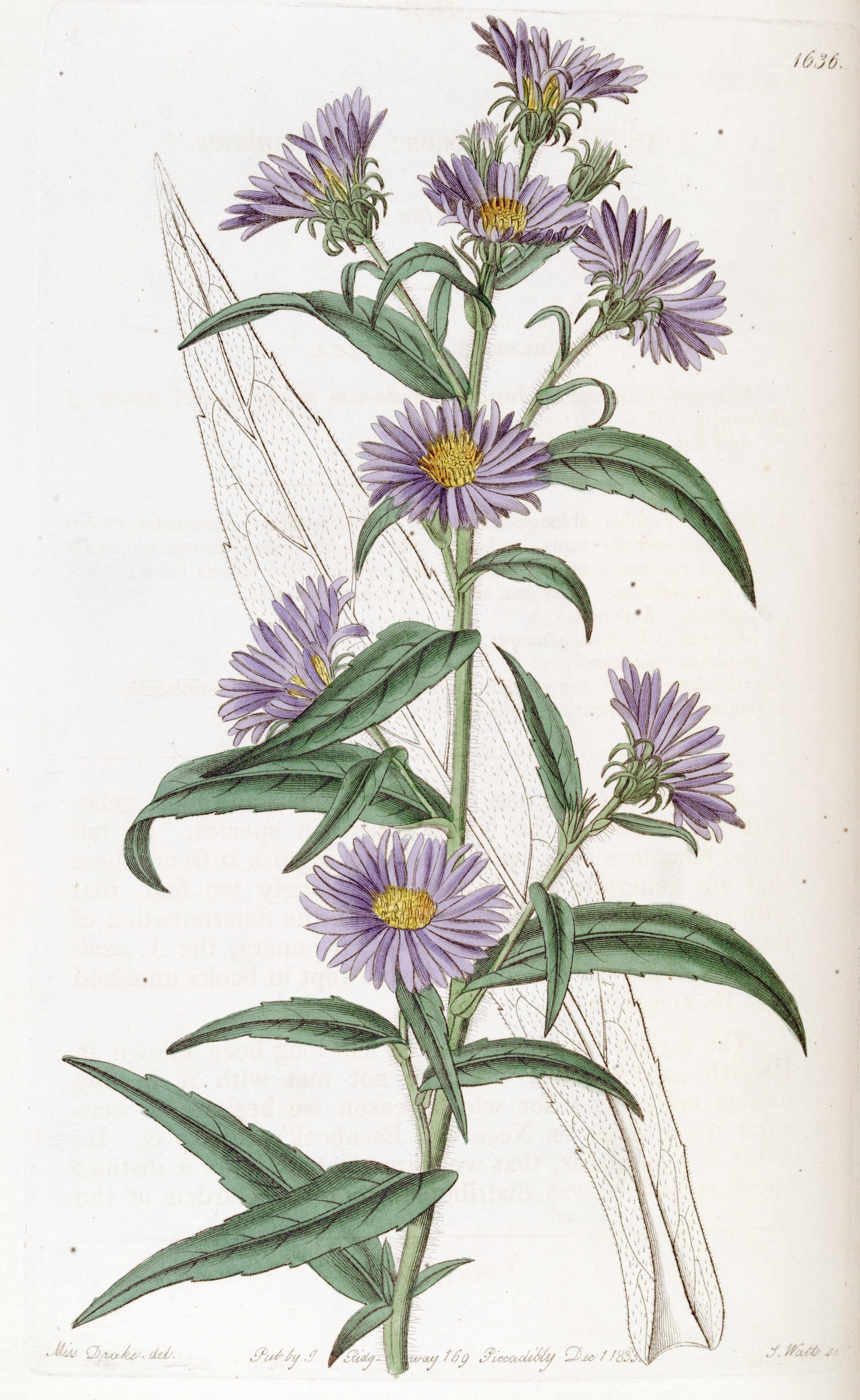 Swamp Aster Symphyotrichum Puniceum Circa 1835 Purple Flowers Flower Clipart Vintage Illustration