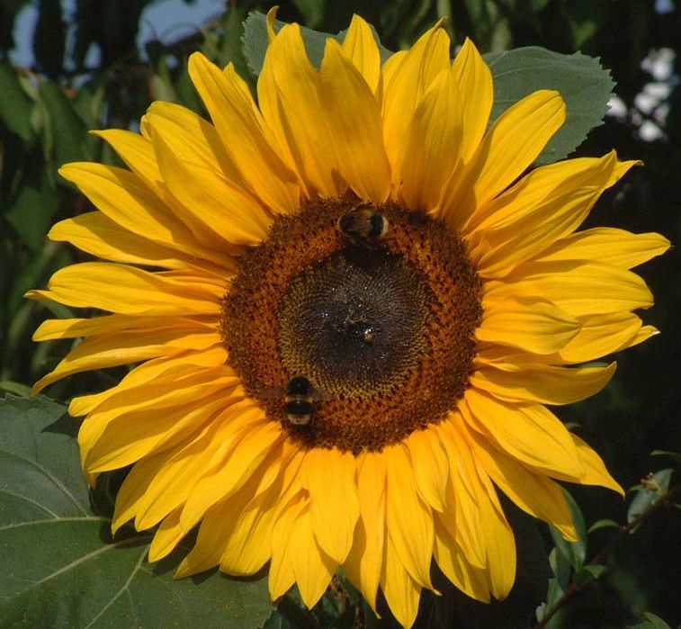 Sunflower And Bees Full Of Promise Of Sunny Days To Come Love Flowers Blooming Flowers Beautiful Blooms