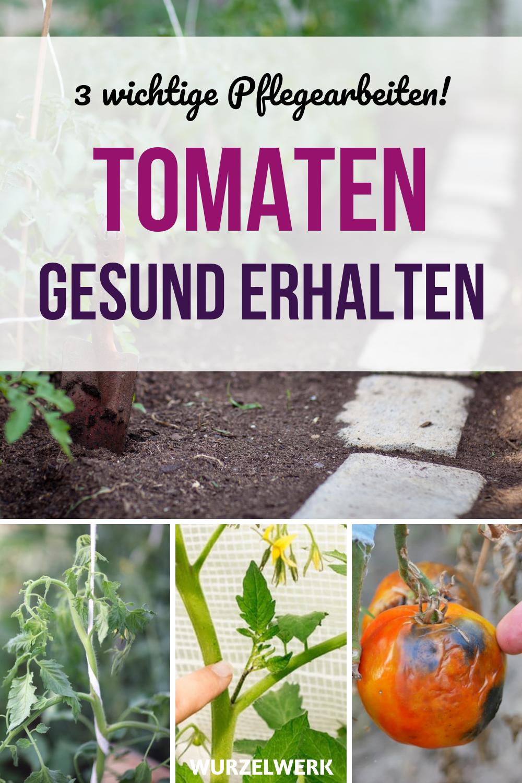 Tomaten Ausgeizen Und Pflegen Schritt Fur Schritt Mit Bildern Wurzelwerk Tomaten Pflanzen Tomaten Im Topf Tomaten Garten
