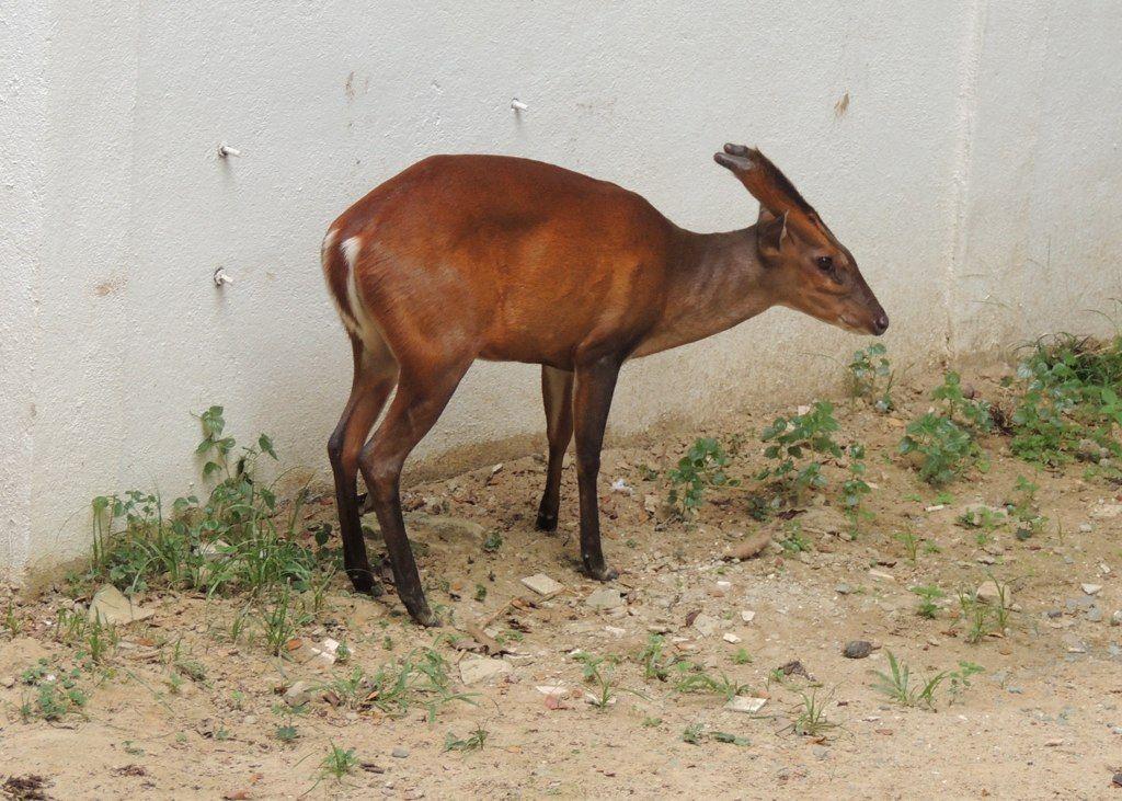 Más tamaños | Bornean Yellow Muntjac(barking deer) | Flickr: ¡Intercambio de fotos!