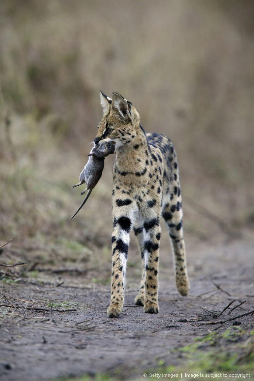 Serval Cat Felis Serval Carrying Unidentified Rodent Kill Masai