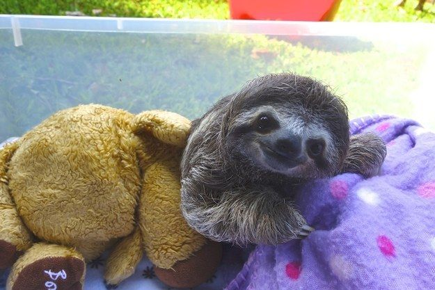 Meet Lunita, The Cutest Baby Sloth On Planet Earth #babysloth