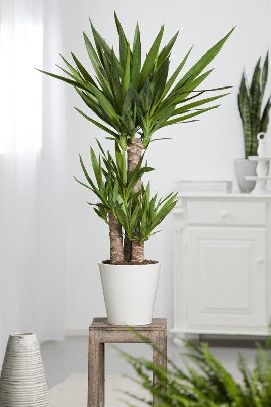 Yucca elephantipes 3 t tes decoracion pinterest for Plante interieur ikea