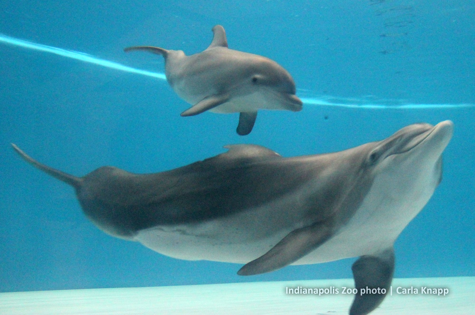 Oh Baby Get A First Glimpse Of Our Newest Baby Dolphin He Was Born At The Indianapolis Zoo On July 12 2012 And Is The Second Calf For China