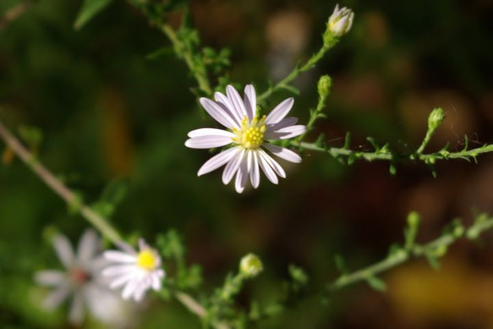 Heath Aster Is One Of Many Asters That Grow Wild In Texas Symphyotrichum Ericoides Wild Flowers Nature Park