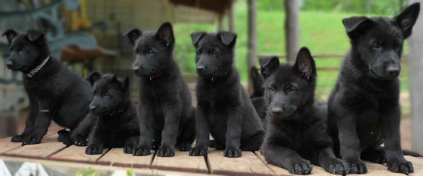 Handsome Black German Shepherd Puppies For Family Cute Pet