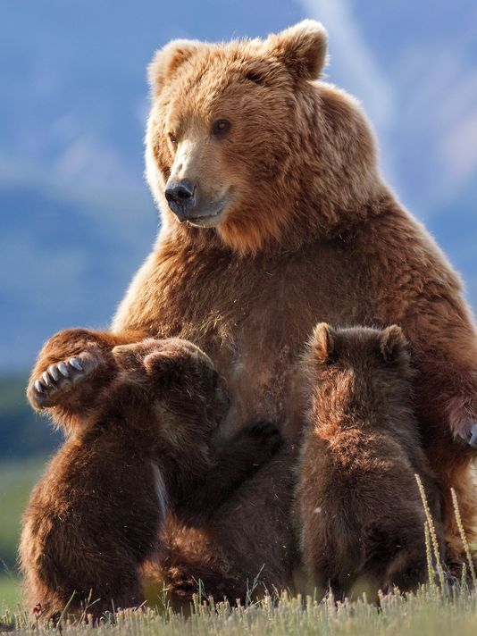 Big brown bear nursing