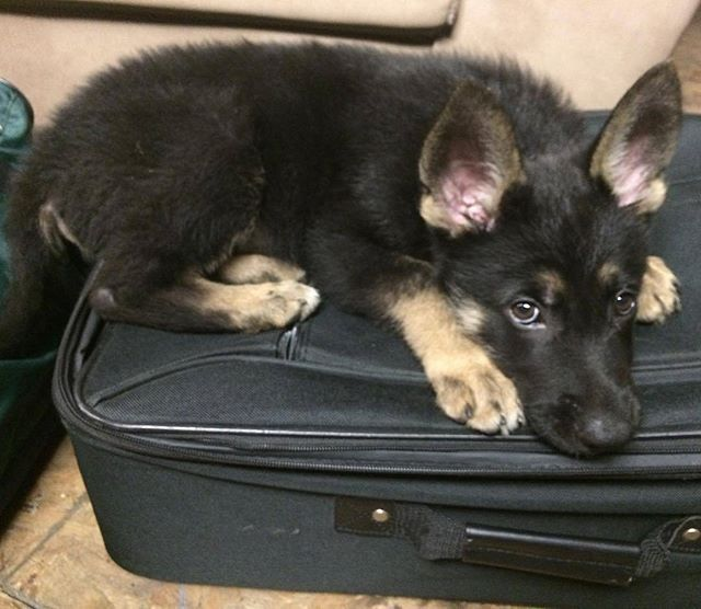 You Re Not Going Without Me Titan G Shepherd Germanshepherd Germanshepherds Germa Cute German Shepherd Puppies German Shepherd Dogs German Shepherd Puppies
