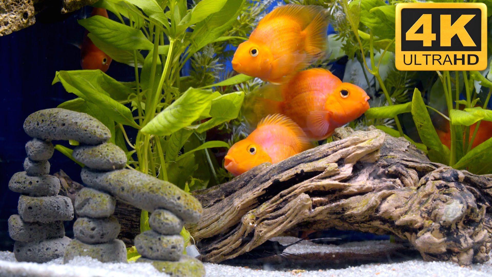 Mini Parrot Fish Like Big Goldfish In 4k Ultra Hd Uscenes
