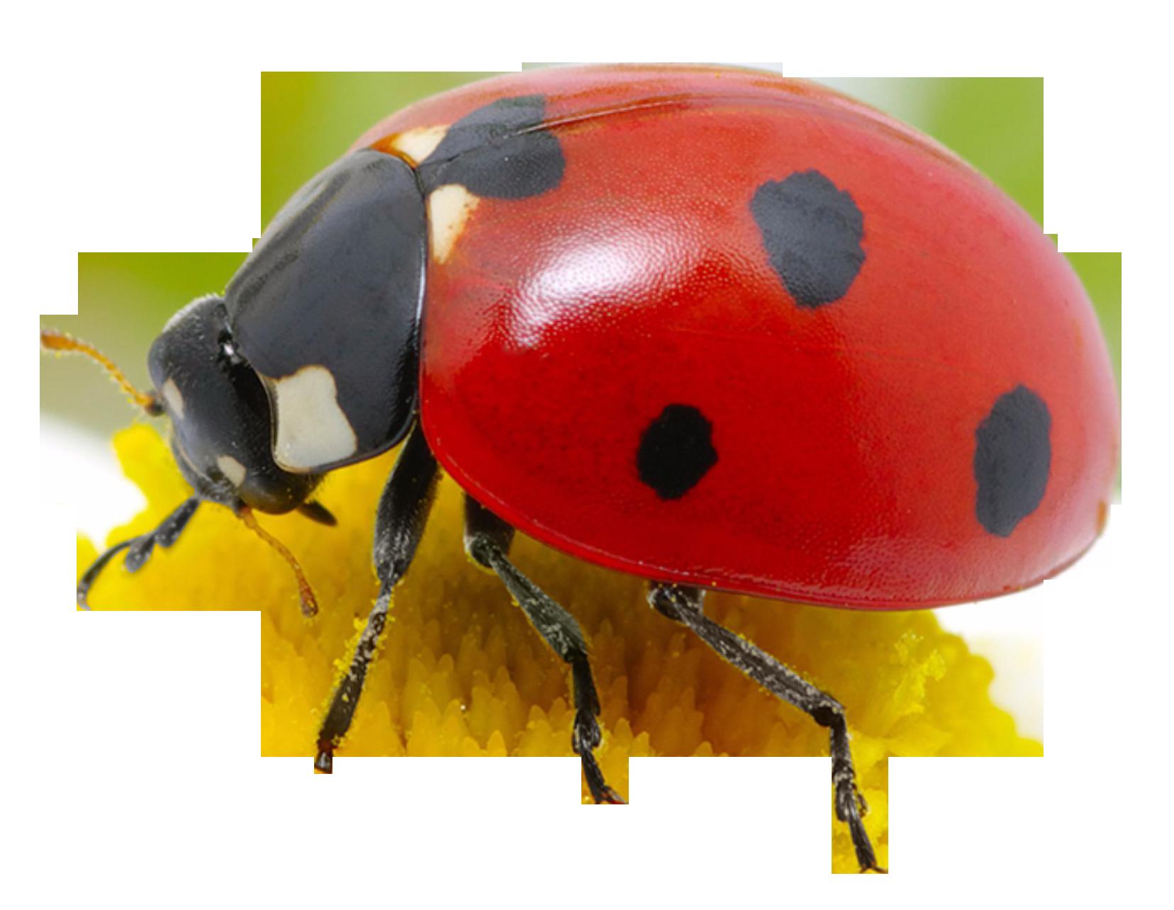 Ladybug PNG Image Png