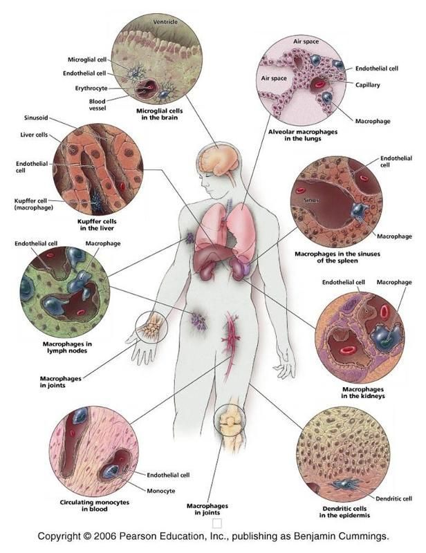 systemic Lymphatic System | histology * | Pinterest | Lymphatic ...