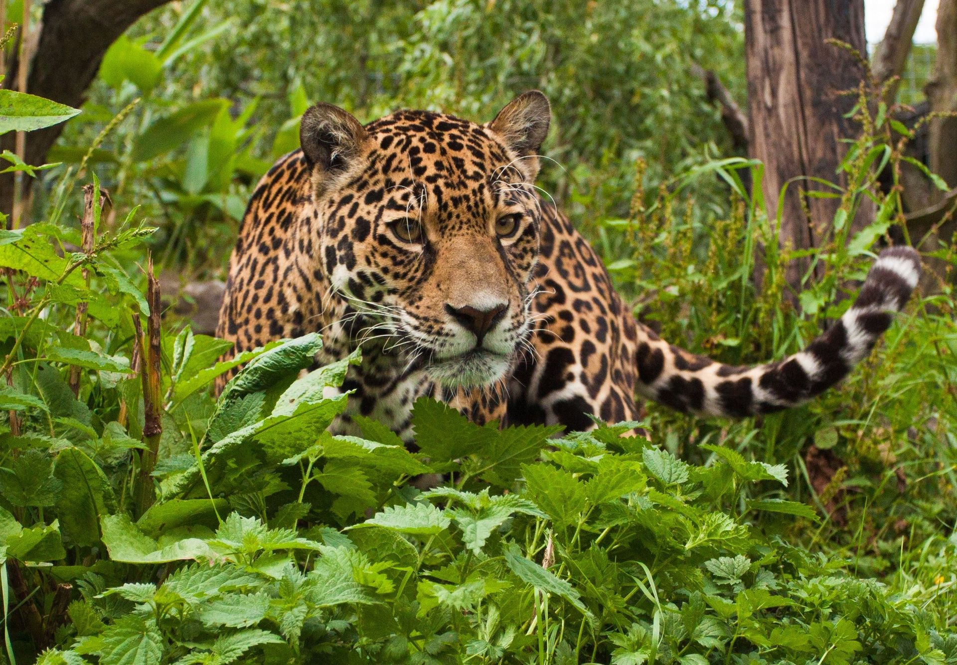 home jaguar cat hd wallpaper tropical rainforest animals | ЗАБАВНЫЕ