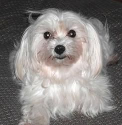 Adopt Sparkles On Maltese Dogs Dogs Foster Mom