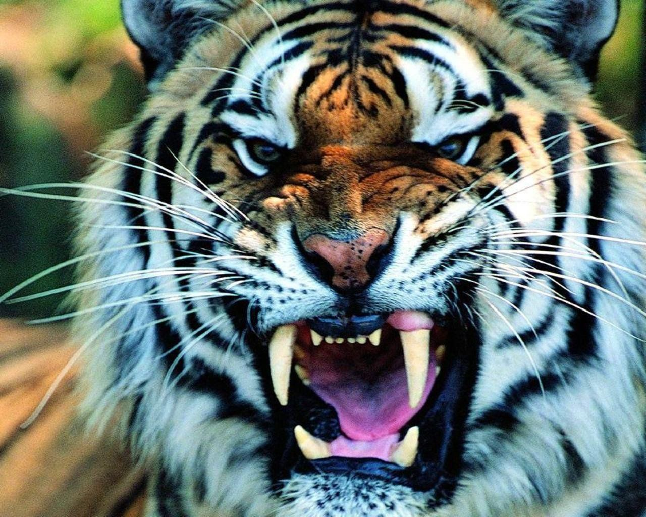 Angry Tiger Hd Wallpapers 100 Quality Hd Desktop Wallpapers High Definition Hd Picture Free Download Angry Tiger Angry Wallpapers Tiger Wallpaper