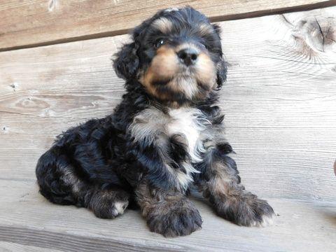 Miniature Bernedoodle Puppy For Sale In Millersburg Oh Adn 33850 On Puppyfinder Com Gender Male Age 6 Week Bernedoodle Puppy Puppies For Sale Mini Puppies