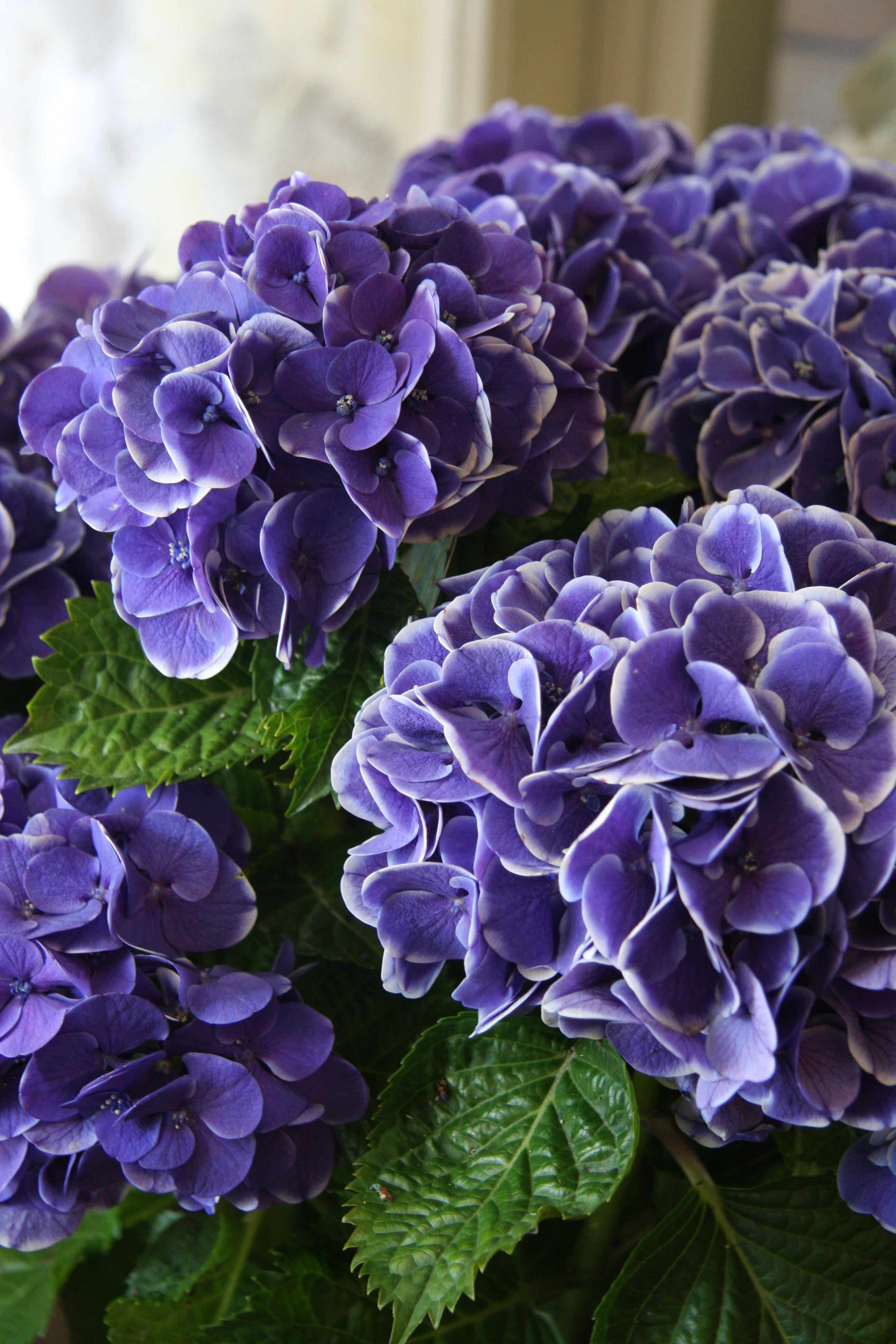 Hydrangea Mars Blue Purple Flowers Flower Farm Hydrangea Flower