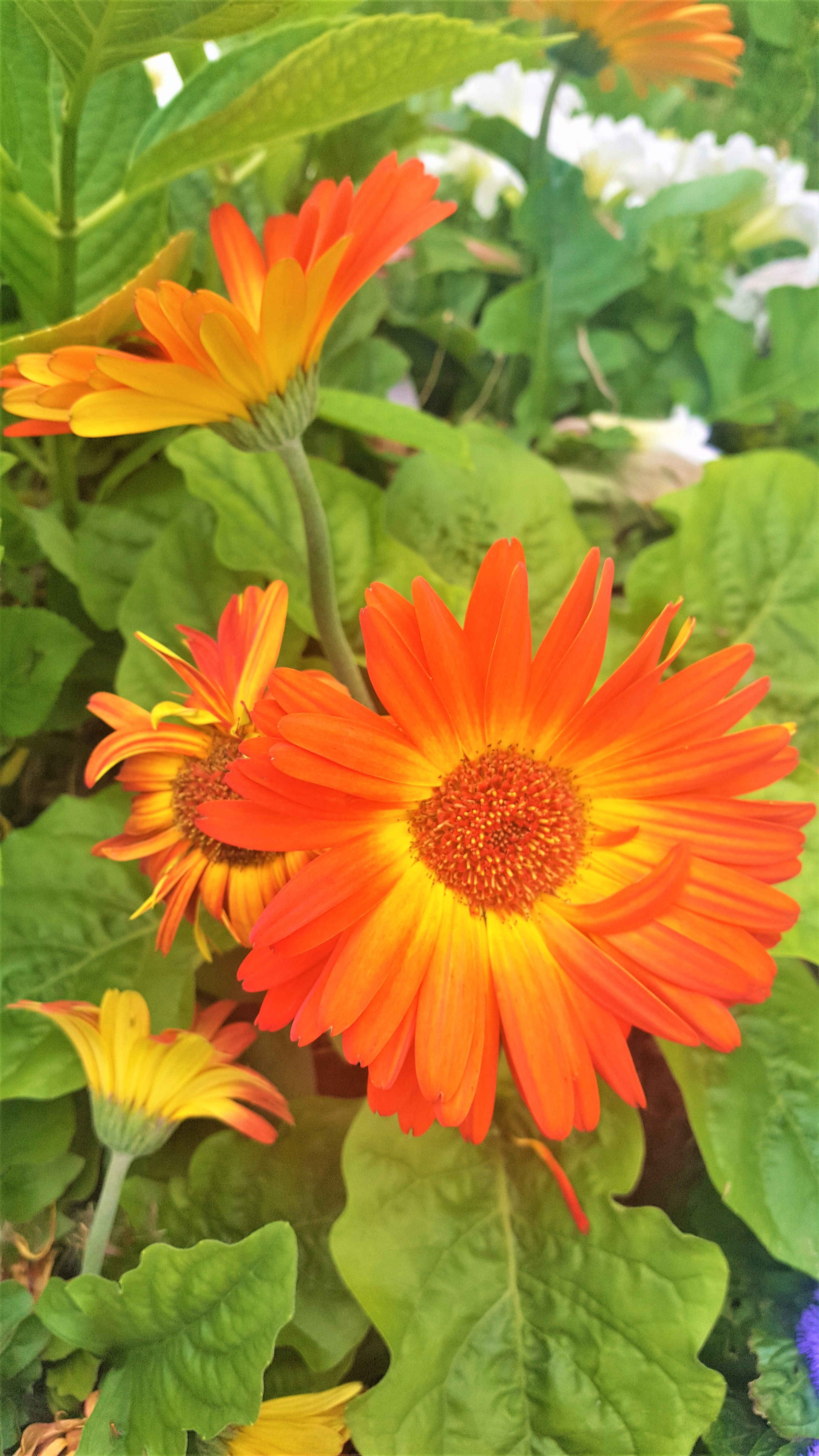 Bright Orange Flower Blooms With Yellow Centre Flowers Blooms