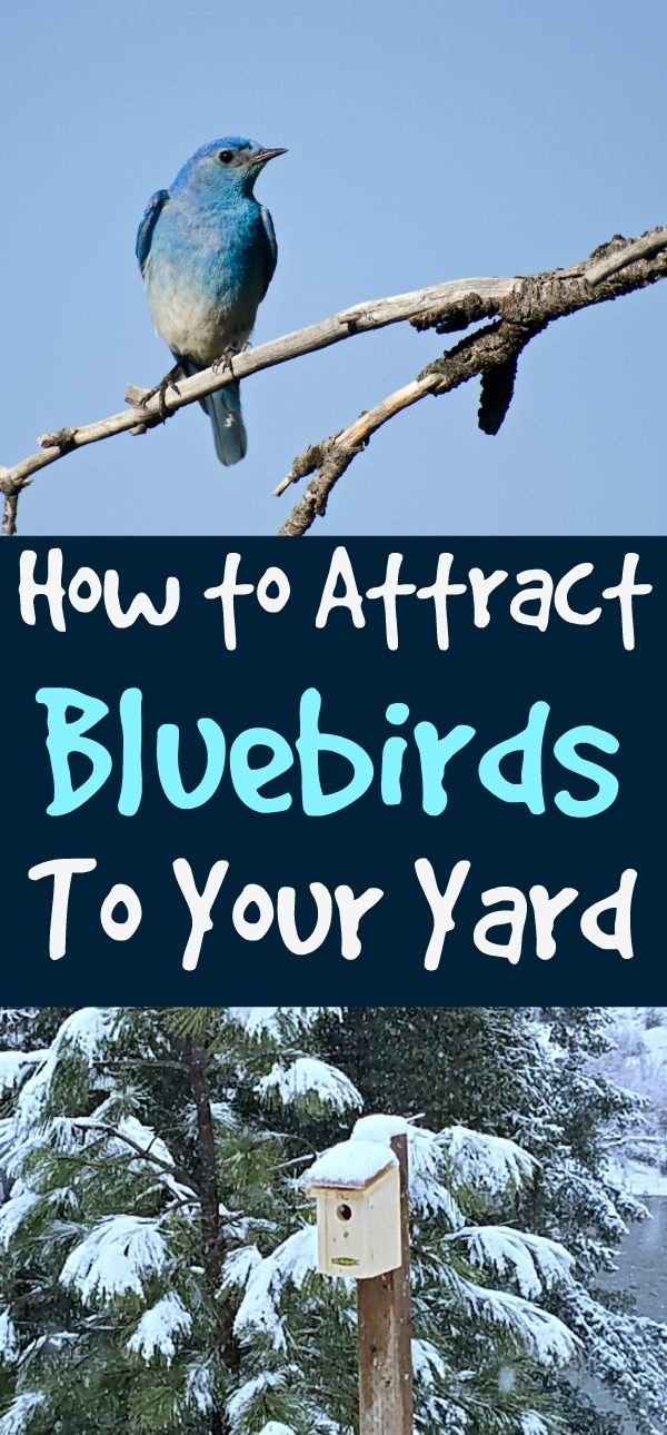 Attract Bluebirds to Your Yard - Some Simple Tips | Blue ...