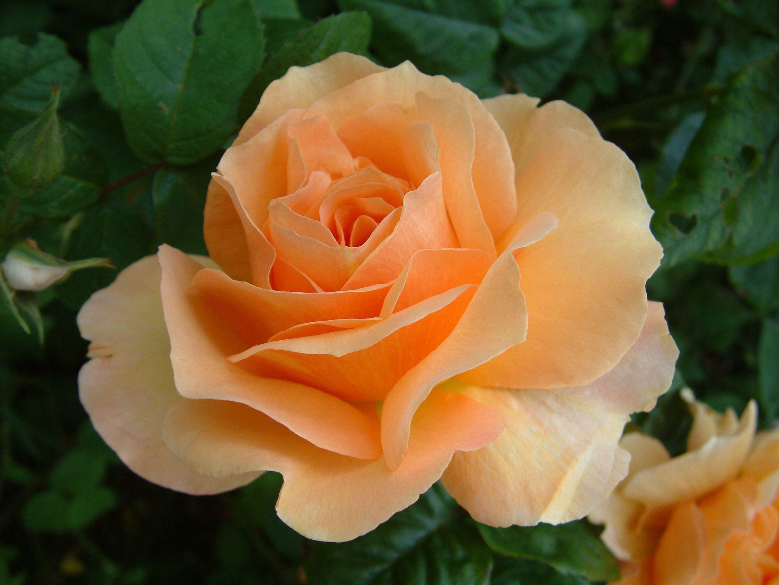 Norwich Castle ~ Floribunda Rose add this to the gardenia/lavender/succulent?