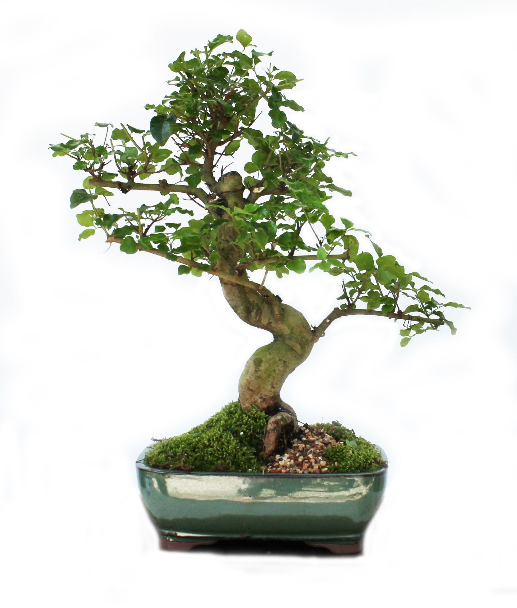 chinese ligustrum bonsai tree classically curvaceous. Black Bedroom Furniture Sets. Home Design Ideas