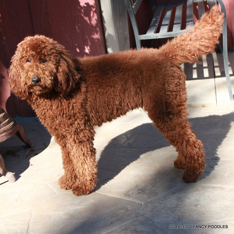 Giselle The Red Moyenklein Poodle Wonderful Personality