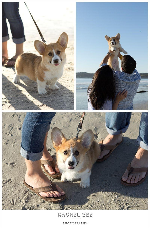 Cute Corgi Puppy On The Beach In Carmel Ca Pet Photography