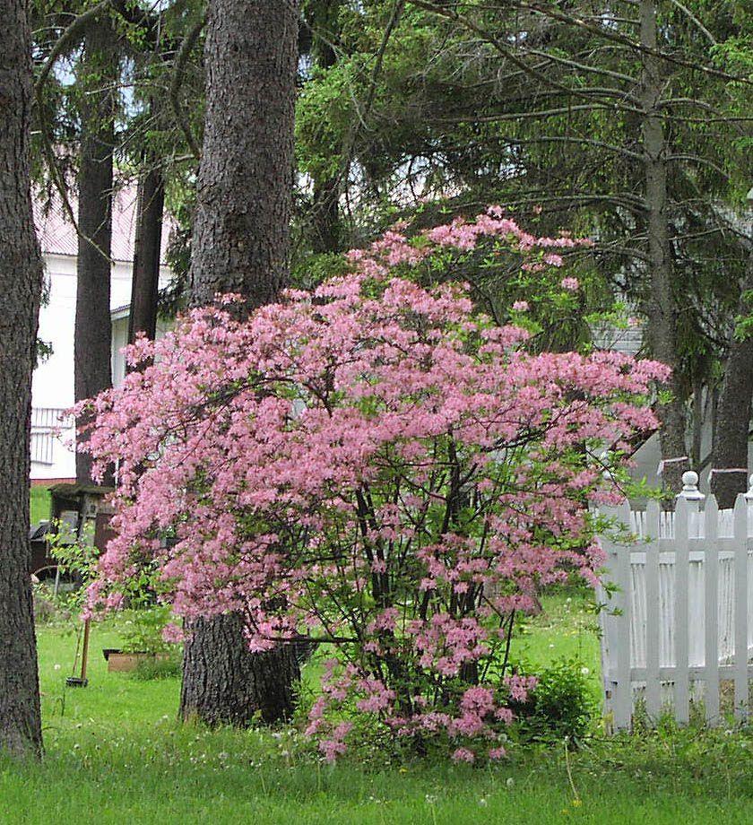 Pin By Matt Doux On Plants I Hope Will Grow In Southwest Florida Shade Landscaping Shade Garden Azaleas
