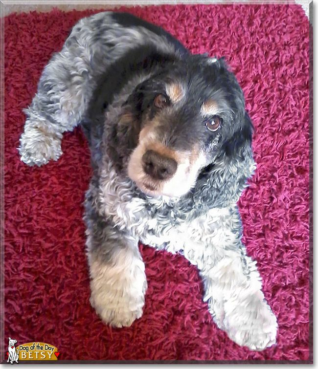 Read Betsy's story the Cocker Spaniel from Hampshire, Great Britain and see her photos at Dog of the Day http://DogoftheDay.com/archive/2014/April/05.html .