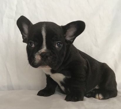 French Bulldog Puppy For Sale In Charleston Sc Adn 35551 On