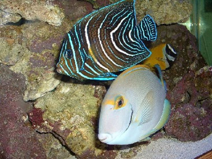 Read This Before You Get A Regal Angelfish For Your Aquarium Angel Fish Fish Colorful Fish