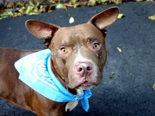 TO BE DESTROYED  10/25/13  Manhattan Center-P~THOMAS~ID # is A0981799. Male brown & white pit bull mix. 4 YEARS old. STRAY on 10/11/2013. **Please note: Thomas is being used as a behavior helper dog due to great temperment** He's likely housetrained, friendly, walks well on the leash, and clearly loves other dogs. Thomas has a calm, sweet demeanor, he's gentle and easy. What more can be said. HERE'S AN AWESOME DOG!!!! Thomas would complete any family & you'd be lucky to have him!