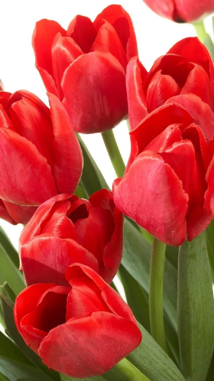 Free Iphone 5 Wallpaper For Your Iphone Red Tulip Flower Clump Clematis Flower Flower Seeds Tulips Flowers