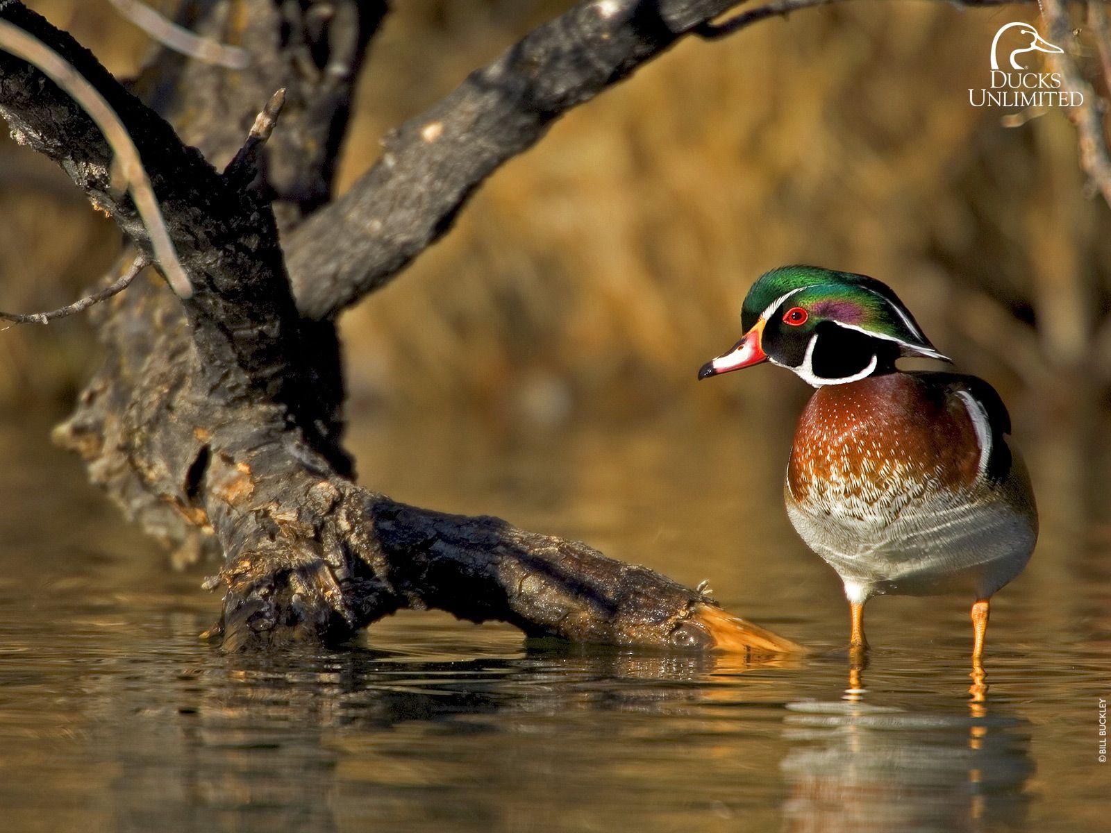 Duck Hunting Supplies And Retriever Training Gear Duck Waterfowl