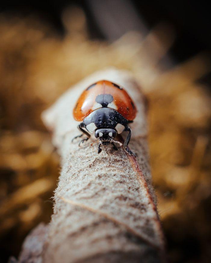#creaturecandy #nature #wildlife #ladybird #insect #macrophotography #naturephoto #photography #britishwildlife #ecology #conservation