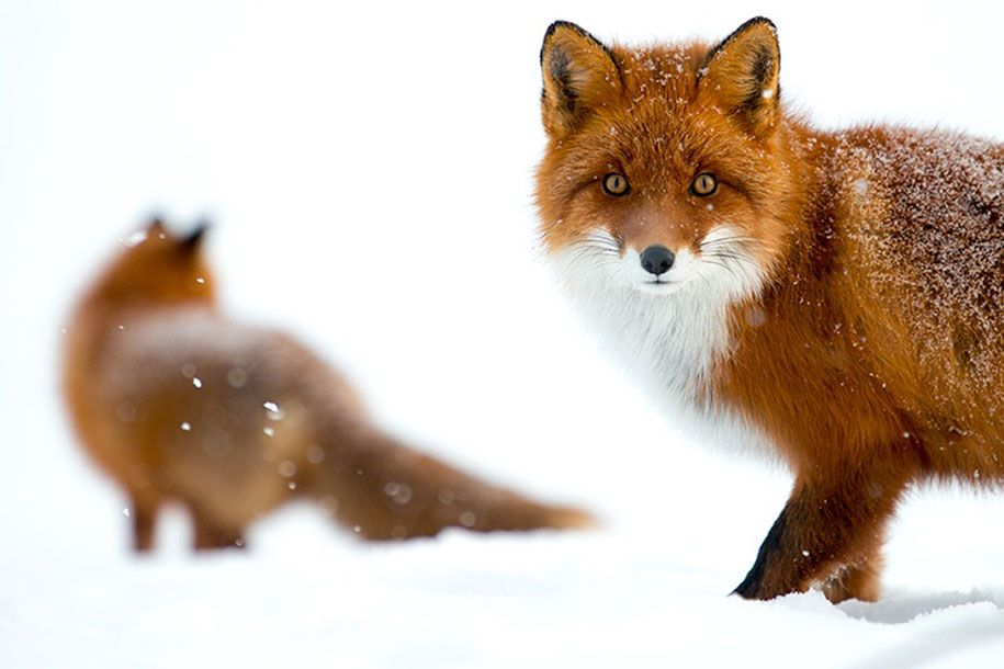 Ivan Kislov has better things to do on his lunch breaks than check stuff on Facebook. He goes out and takes stunning pictures of Arctic foxes!