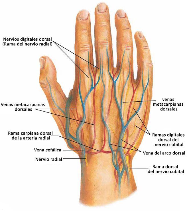Pin de Leandro Torres en Cuerpo humano | Pinterest | Anatomía ...